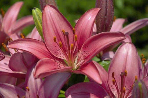 трубчатые лилии фото