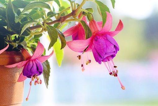 Домашний цветок фуксия