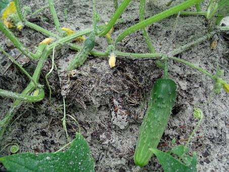 Посев огурца в открытый грунт
