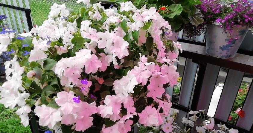 Однолетние растения для бордюрного оформления