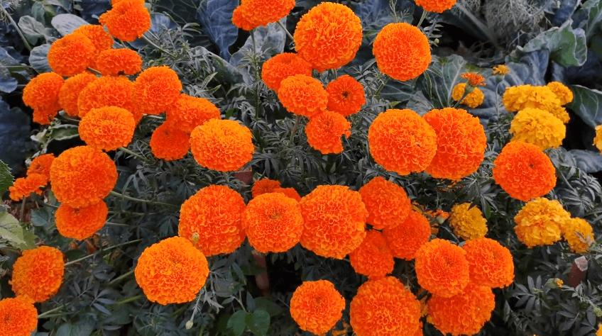 цветы для бордюра вдоль дорожек