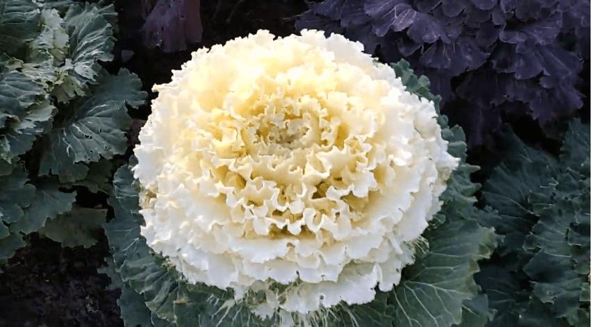 Цветы для бордюра низкорослые двулетники
