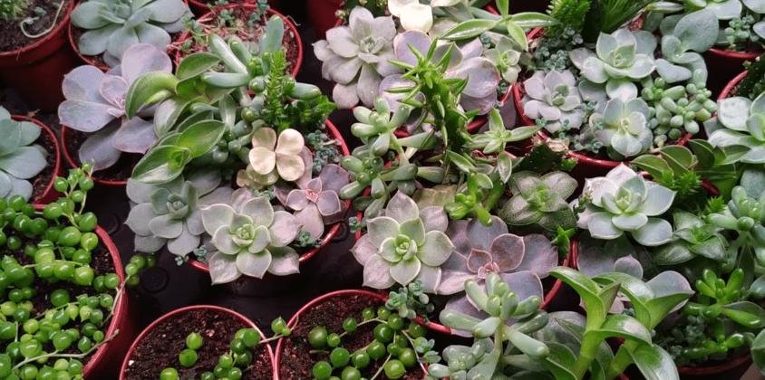 цветок суккулент уход в домашних условиях