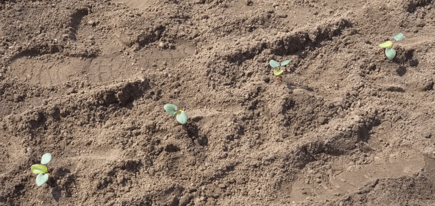 Бамия Клемсон выращивание из семян