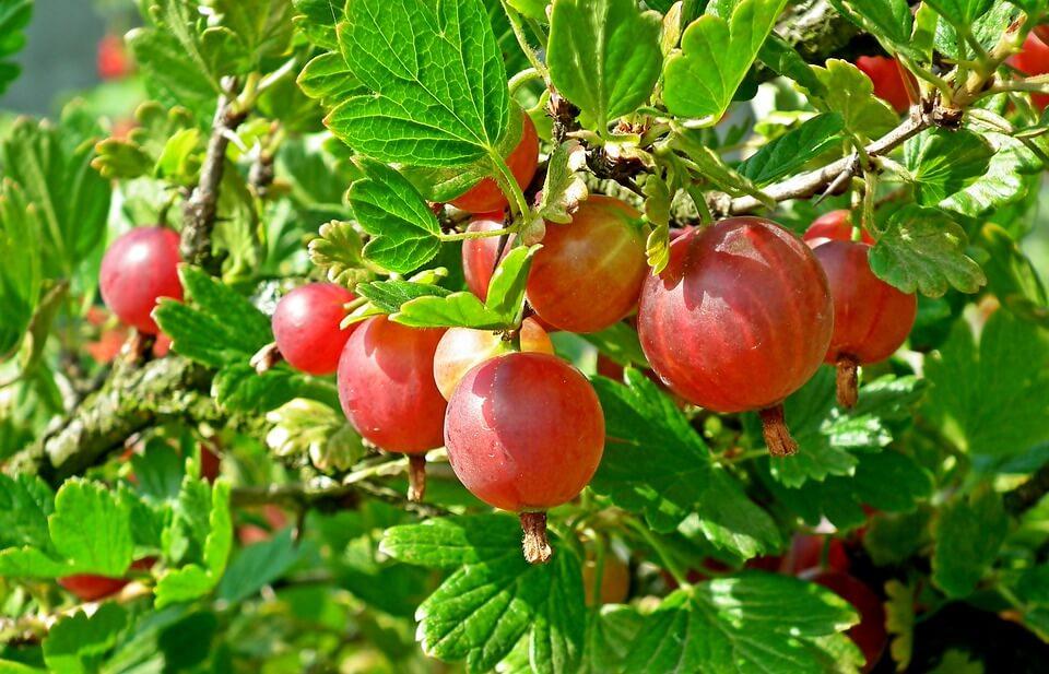 Полезные свойства ягод и область применения