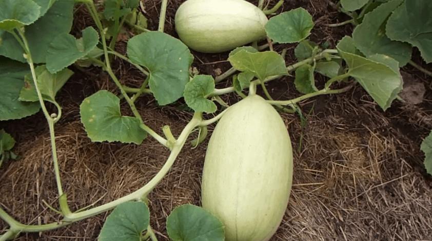 Огурдыня: выращивание и уход