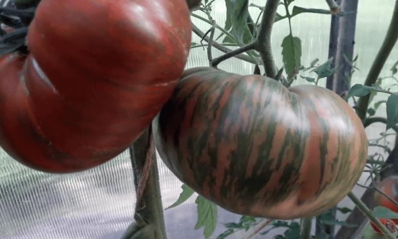 амурский тигр томат описание