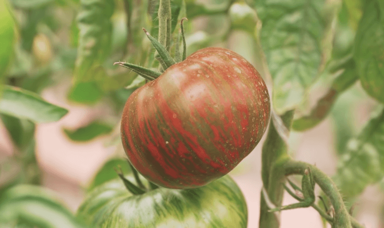 tomat amurskiy tigr